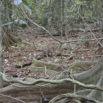 Look very closely to see the pademelon.